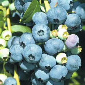 Vaccinium Early blue (2)
