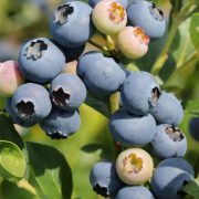 vaccinium Early blue